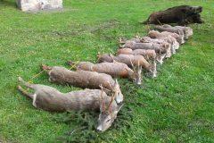 Majowe polowanie komercyjne na rogacze