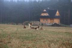 (Polski) Wilki ponownie zaatakowały