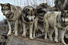 Zgłoszenie szkody wyrządzonej przez wilki