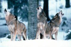 """(Polski) Rozmowy o wilkach. """"Odstrzał to temat bardzo trudny"""""""