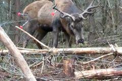 """(Polski) """"Król naszych lasów dostał drugie życie"""". Myśliwi uratowali jelenia zaplątanego w ogrodzenie"""